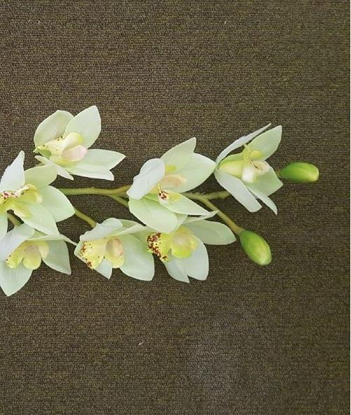 CYMBIDIUM VERDE  8 fiori LUNGO 74 cm